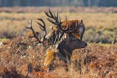 Red Deer (Cervus elaphus) Royalty Free Stock Images