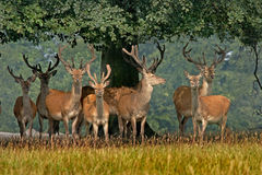 Red Deer in Yorkshire. A herd of young Red deer in Yorkshire, England Royalty Free Stock Photos