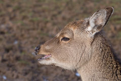Red deer young. Eyes having lunch royalty free stock photo