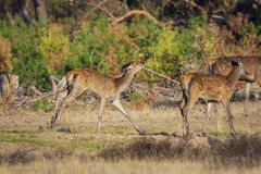Red deer young fawn, cervus elaphus, playing. Red deer fawn, cervus elaphus, playing during mating season in a puddle water and mud stock photo