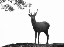 Red Deer. A young male red deer silhouetted against the skyline in black and white Royalty Free Stock Photos