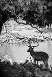 Red deer in the zoo Royalty Free Stock Photos