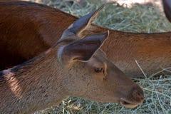 Red deer, Szarvas, Hungary. Red deer in a zoo in Szarvas, Hungary Royalty Free Stock Image