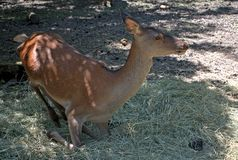 Red deer, Szarvas, Hungary. Red deer in a zoo in Szarvas, Hungary stock photos