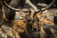 Red deer in the zoo Royalty Free Stock Image
