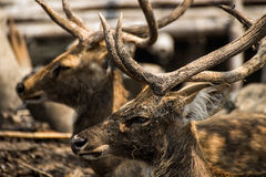 Red deer in the zoo Stock Image
