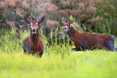 Red deers in a clearing royalty free stock photos