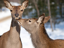 Red deers cuddling. In natural environment during winter royalty free stock photography