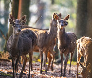 Red deers. In a forest Royalty Free Stock Image