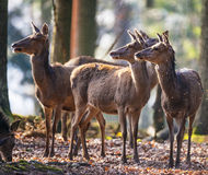 Red deers Royalty Free Stock Images