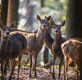 Red deers Royalty Free Stock Image
