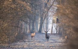 Red deers in forest in winter time. Two red deers with antlers walking in forest on cold winter day. Watchtower in background. Wildlife in natural habitat stock images