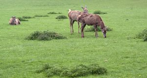 Red Deers on green grass Royalty Free Stock Photography