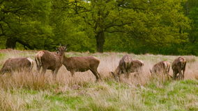 Red Deers on a peaceful day afternoon stock video footage