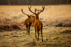 Red Deers Royalty Free Stock Image