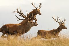Red deers on the run. Red deers ( Cervus elaphus ) on a wild run, one in the air stock photography