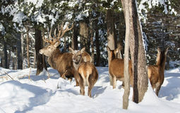 Red deers in snow Stock Image