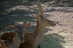 Red deers, Szarvas, Hungary. Red deers in a zoo in Szarvas, Hungary stock photos