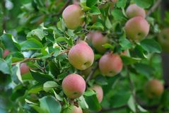 Red delicious apple Royalty Free Stock Photos