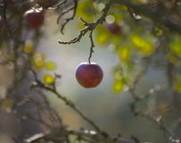 Red Delicious Apple Hanging from a Branch Backlit by the Sun. A single Red Delicious Apple hanging from a branch with with backlit highlits Stock Photo