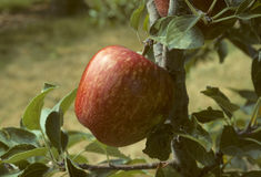 Red delicious apple on a tree Royalty Free Stock Photo
