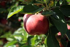 Red delicious apple in apple tree Stock Photos