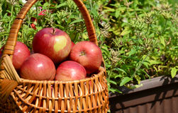 Red Delicious Apples Royalty Free Stock Photography