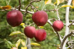 Red Delicious apples in orchard. Red Delicious apples hanging on a tree branch in orchard stock photos
