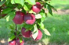 Red Delicious Apples. This Photo was taken at Jonamac Apple Orchard in Malta, Illinois Royalty Free Stock Photos