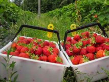 Red delicious maduro grande de la fresa con los sépalos verdes en una pila grande de cosecha en una pila grande de cosecha Fotografía de archivo libre de regalías