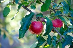 Red delicious Michigan Apples. Juicy red delicious Apples hang on a tree in a beautiful Michigan orchard Stock Image
