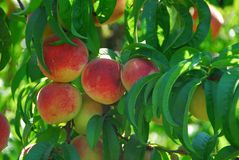Red delicious peach Royalty Free Stock Images