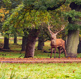 Red der stag Royalty Free Stock Images