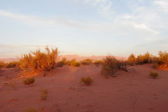 Red desert with bush in sunset light. Red sand desert with dry deadand green bush in sunset light, clear blue sky with some clouds. Beautiful scenery, landscape Stock Photo