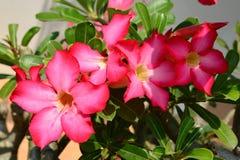 Red Desert Flower. Adenium obesum Royalty Free Stock Images