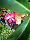 Red desert flower that fall from the tree. Camera by smart phone Royalty Free Stock Image