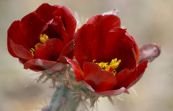 Red Desert Flowers. Beautiful red desert flower with yellow centers Royalty Free Stock Images