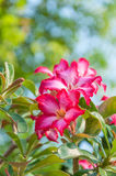 Red Desert Rose. Blur at background Stock Photo