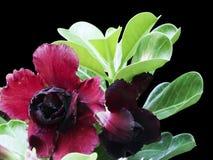 Red desert rose Stock Photography