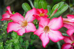 Red Desert rose Flower, adenium obesum , Impala Lily, Royalty Free Stock Images