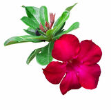 Red desert rose Flower stock photos