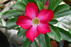 Red Desert rose flowers Royalty Free Stock Images