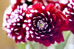 Red dhalia. In flower market in slovakia in detail Stock Images
