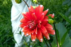 A red Dhalia in a garden. A flower in a garden. Flowers blooming in the garden in mid-summer. Image of nature. Delicate and beautiful flowers royalty free stock images