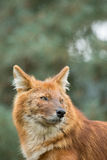 Red dhole Royalty Free Stock Images