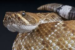 Red Diamond Rattlesnake Royalty Free Stock Photo