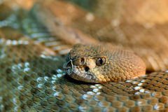 Red diamond rattlesnake Stock Photo