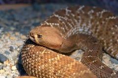 Red Diamond Rattlesnake Royalty Free Stock Image