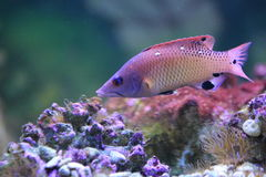 Red diana hogfish Stock Photography