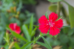 Red dianthus chinensis China Pink in the garden Stock Image